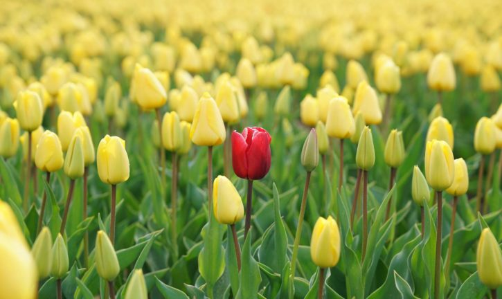 Single red tulip surrounded by yellow tulips